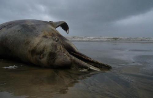 ეკოლოგიური კატასტროფა შავ ზღვაში - რუსეთის სანაპირო ზოლსა და ოკუპირებულ აფხაზეთში დელფინების სიკვდილიანობის 170-ზე მეტი შემთხვევა დაფიქსირდა