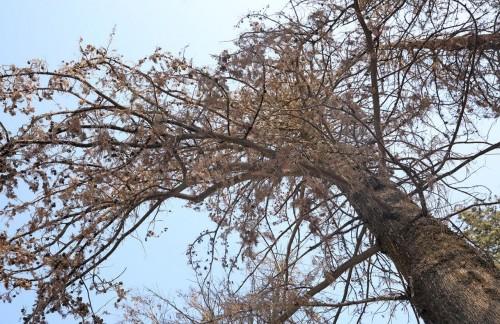 ისნის რაიონში ექსპერტიზის დასკვნის საფუძველზე ხეები მოიჭრება