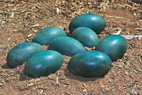 დინოზავრის ზოგიერთი სახეობა ლურჯ კვერცხებს დებდა - ახალი დეტალები ფრინველის მსგავსი უძველესი არსებების შესახებ