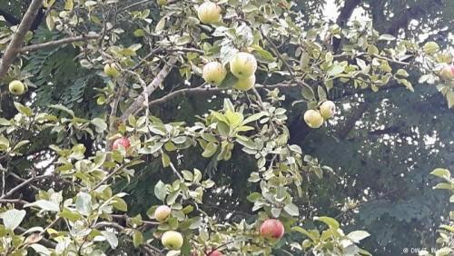 ევროპაში ვაშლის ფასი შესაძლოა, მკვეთრად გაიზარდოს