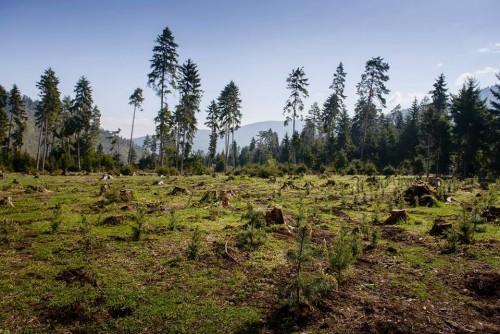 გარემოს დაცვის სამინისტრო - ბორჯომის ხეობაში ხე-ტყის დამზადება დაშვებული მოცულობების ფარგლებში მიმდინარეობს
